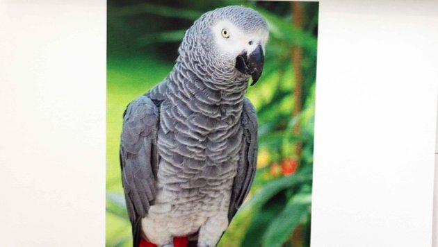 """Seit Tagen schon wird Graupapagei """"Pepi"""" vermisst. Der Vogel ist in Neusiedl entflogen. (Bild: Reinhard Judt)"""