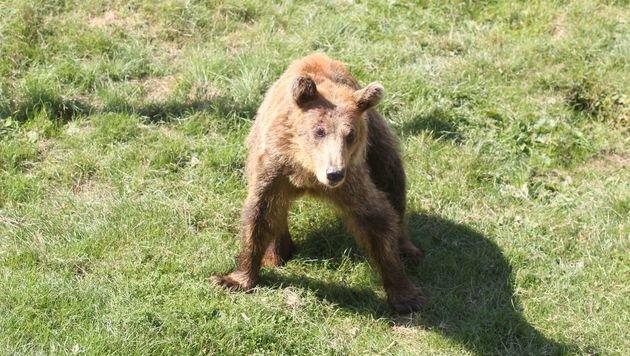 Neues Leben für drei der traurigsten Bären Europas (Bild: Vier Pfoten/Hazir Reka)