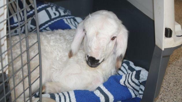 Neugeborenes Lamm einfach auf Rastplatz abgelegt (Bild: WTV)