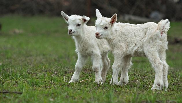 Tierquäler tötete zwei Ziegen auf Kärntner Weide (Bild: thinkstockphotos.de)