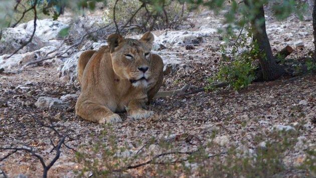 "Wildtierschutzzentrum Al Ma'wa für gerettete Tiere (Bild: Al Ma""wa)"