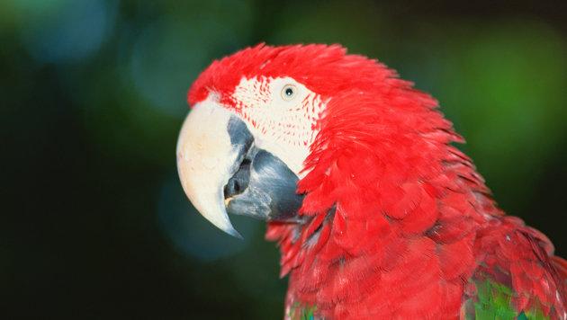 Hirnregion macht Papageien zu Sprachkünstlern (Bild: Photos.com/Getty Images)