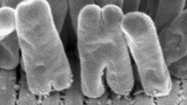 Mikroskopische Aufnahme des Stäbchenbakteriums (Bild: Nikolaus Leisch, Nature Microbiology)