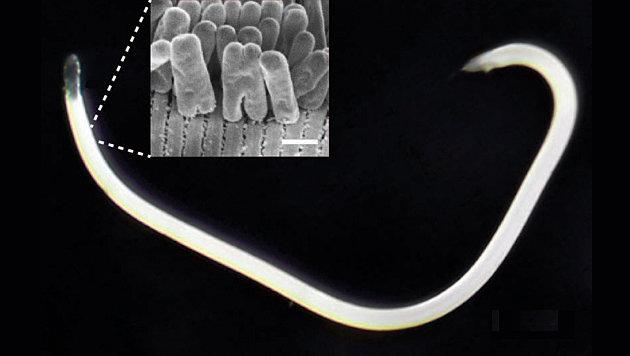 Karibische Bakterien teilen sich andersrum (Bild: Nikolaus Leisch, Nature Microbiology)