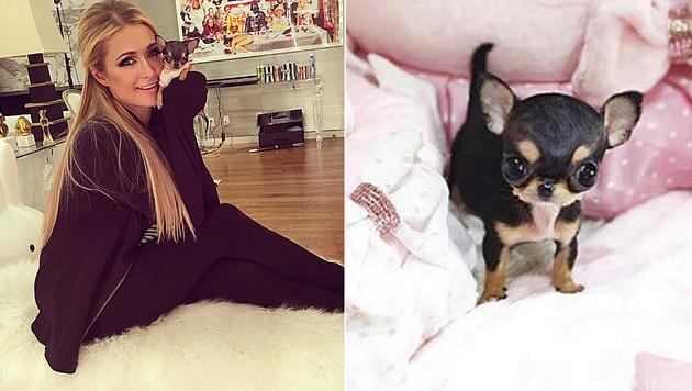 Paris Hilton ist ganz vernarrt in ihren neuen Chihuahua. (Bild: instagram.com/parishilton)