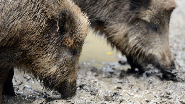 Wildschweine fallen über Eisenstädter Gärten her (Bild: dpa/Caroline Seidel (Symbolbild))