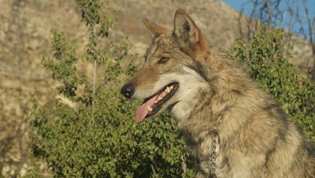 US-Halter perplex: Hund entpuppte sich als Wolf (Bild: www.facebook.com/Wolf Connection)