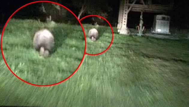 Der Bär flüchteteam Donnerstagabend im Scheinwerferlicht vor einem fahrenden Auto. (Bild: Privat)