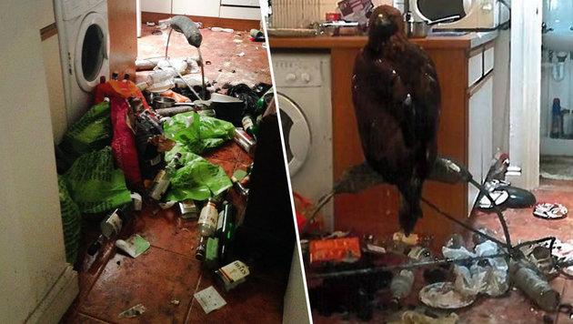 Mann hielt Adler in winziger, vermüllter Küche (Bild: facebook.com/ RSPCA Cymru)