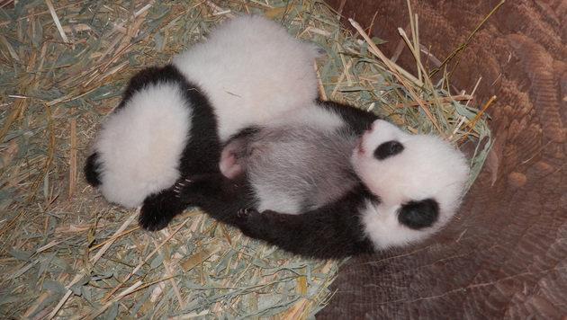Wie soll das junge Panda-Männchen heißen? (Bild: Tiergarten Schönbrunn)