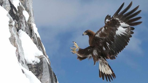 Dank technisch aufwändiger Luftaufnahmen erlebt der Zuschauer den Steinadler hautnah. (Bild: Terra Mater)