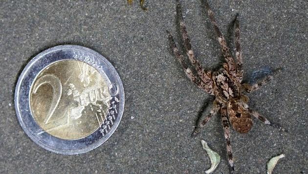 Zoropsis spinimana im Größenvergleich (Bild: Wikipedia/Dextwin)