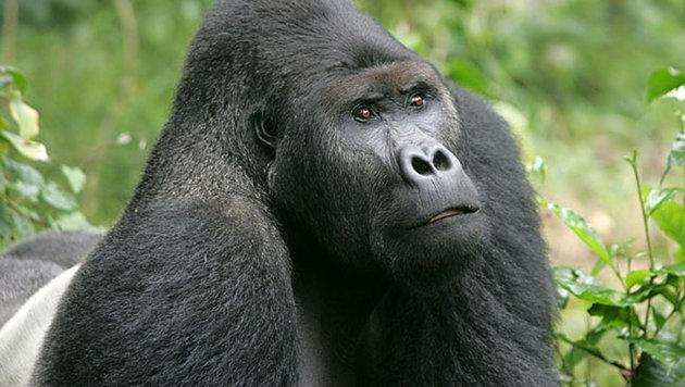 Flachlandgorillas im Kongo vom Aussterben bedroht (Bild: Ciminuka Kahuzi-Biega National Park DRC, Rick Murphy)
