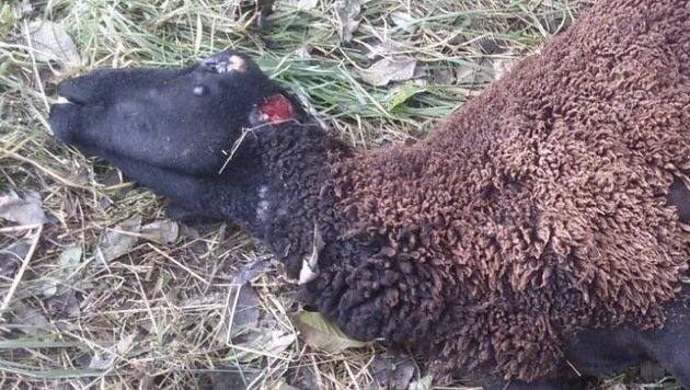 Dieses Schaf wurde am Wochenende in der Kärntner Kreuzen gerissen. (Bild: KK)