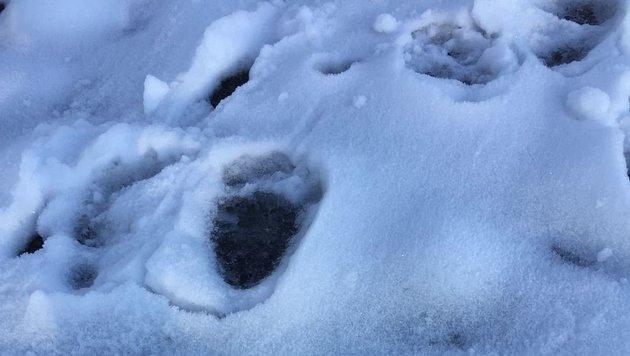Bären-Spuren im Schnee (Bild: KK)