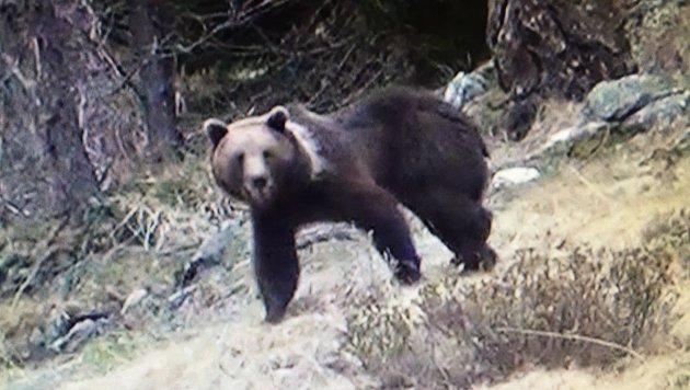 Die Bären sind zurück und durchstreifen Kärnten. (Bild: KK)