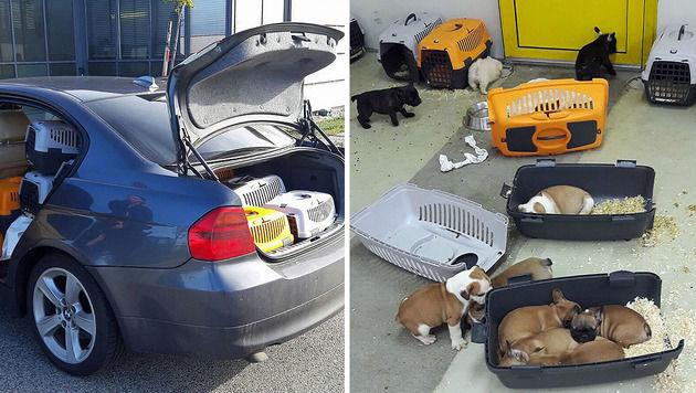 Rumäne pferchte 47 Welpen in Auto - gestoppt (Bild: APA/LPD BURGENLAND)