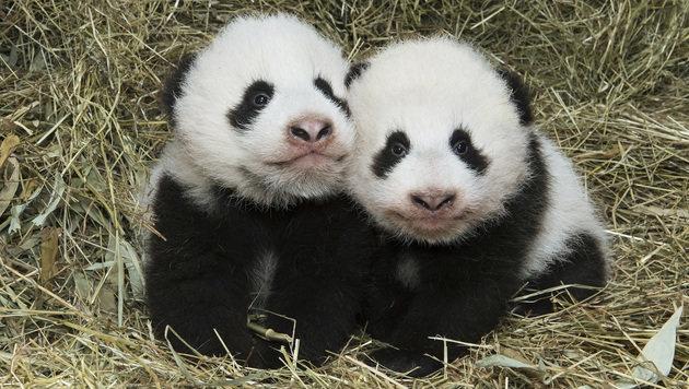 "Das Weibchen ""Fu Feng"" (li.) mit Zwillingsbruder ""Fu Ban"" (Bild: APA/DANIEL ZUPANC)"