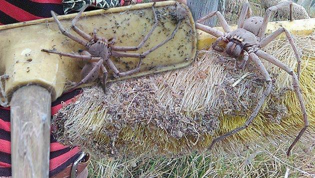 """Australische Riesenspinne schockt das Netz (Bild: Facebook/Barnyard Betty""""s Rescue)"""
