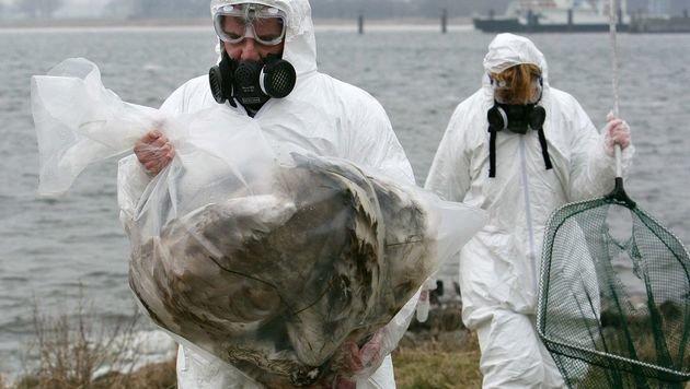 Vogelgrippe unter Wildvögeln wird zu Pandemie (Bild: APA/dpa/Patrick Pleul)