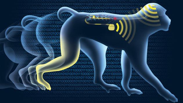 Chip im Hirn lässt gelähmte Affen wieder laufen (Bild: EFPL/Jeremy Ruby)