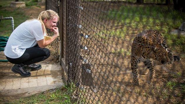 """Ein neues Zuhause für den Zoo-Leoparden """"Bakari"""" (Bild: Vier Pfoten/Bogdan Baraghin)"""