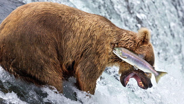 """Grizzly bear fail"" (c) Rob Kroenert (Bild: comedywildlifephoto.com/Rob Kroenert)"