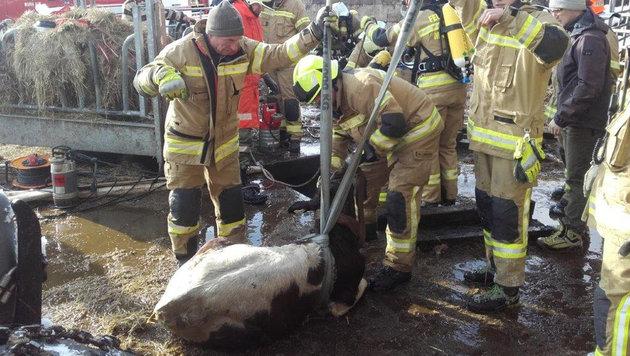 Feuerwehr rettete Kalb aus Jauchegrube (Bild: FF Maria Alm)