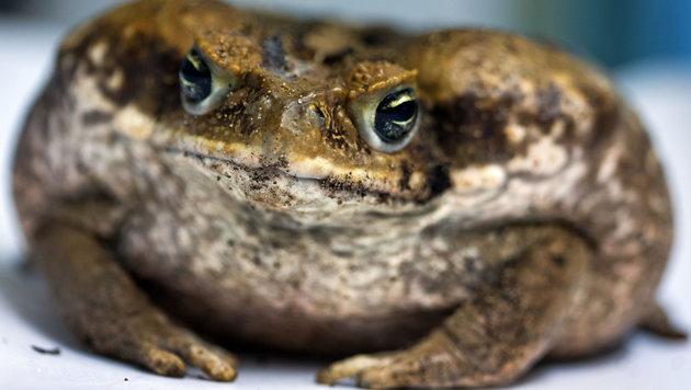 Australien will aus Aga-Kröten Ekel-Wurst machen (Bild: APA/dpa-Zentralbild/Jens Büttner)