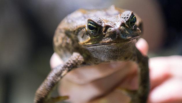 Australien will aus Aga-Kröten Ekel-Wurst machen (Bild: APA/dpa/Monika Skolimowska)