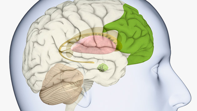 Die Lage der Stirnhirnrinde (grün eingefärbt) im menschlichen Gehirn (Bild: thinkstockphotos.de)