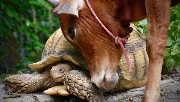 Rind und Schildkröte als ungewöhnliche Freunde (Bild: facebook.com/Wildlife Friends Foundation Thailand)