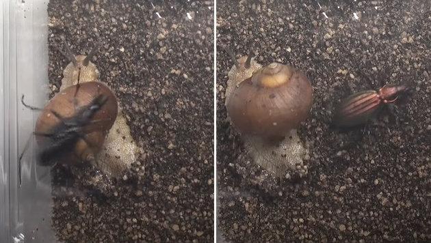 Schneckenarten nutzen ihr Haus quasi als Keule (Bild: YouTube.com)