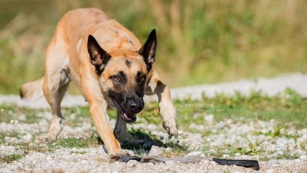 """Diensthund """"Easy"""" stellte seine Spürnase einmal mehr unter Beweis. (Bild: LPD SALZBURG)"""