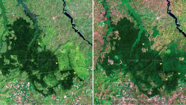 Der Mariba-Regenwald in Uganda im November 2001 (rechts) und im Jänner 2006 (links)