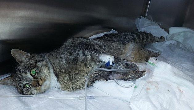 Katze mit abgetrennten Zehen kämpft tapfer (Bild: Pfotenhilfe)