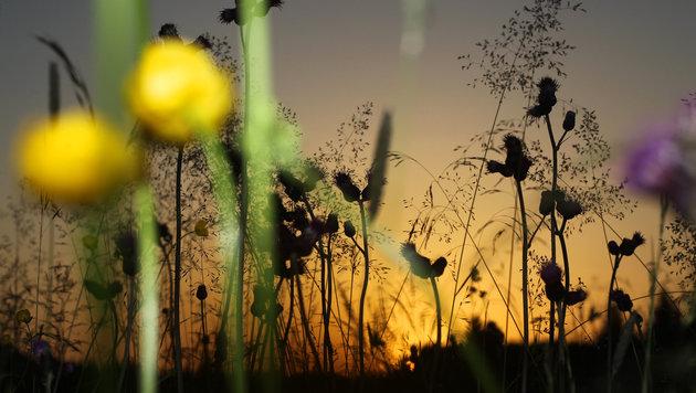 Häufiges Mähen reduziert auf Wiesen Artenvielfalt (Bild: APA (dpa))