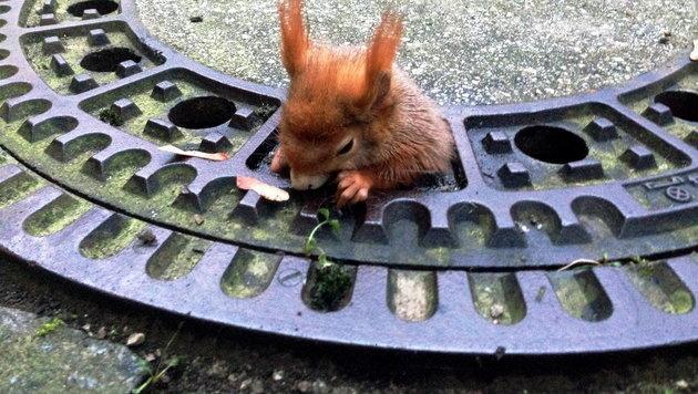 München: Eichhörnchen steckt in Kanaldeckel fest (Bild: APA/Tierrettung München e.V.)