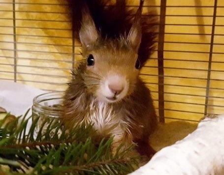 Mittlerweile hat sich der kleine Nager wieder erholt. (Bild: Tierrettung München e.V.)