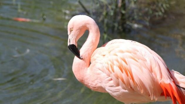 Keine Flamingo-Stallpflicht und für deren geflügelten Kollegen in Hellbrunn. Der Stress wäre groß. (Bild: Melanie Hutter)