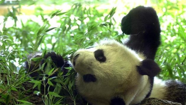 """Schönbrunner Panda """"Long Hui"""" ist tot (Bild: APA/Roland Schlager)"""