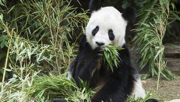 """Panda """"Long Hui"""" wird nun pathologisch untersucht (Bild: Daniel Zupanc)"""
