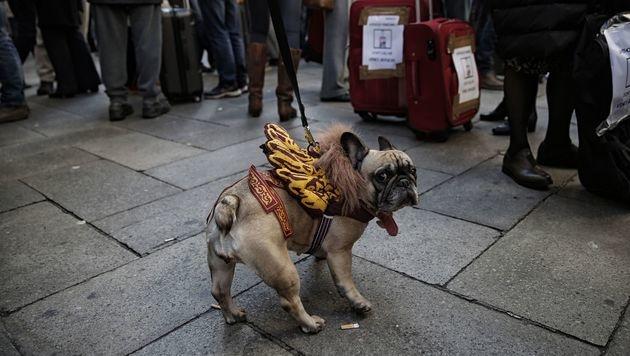 Mops - oder doch venezianischer Löwe? (Bild: APA/AFP/MARCO BERTORELLO)