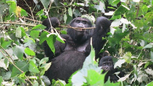 Gorillas aus nächster Nähe zu beobachten ist ein einmaliges Erlebnis. (Bild: Denise Zöhrer)