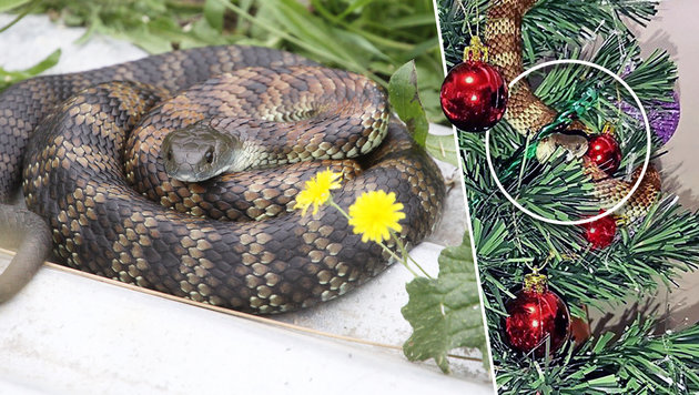 Australierin entdeckt Giftschlange in Christbaum (Bild: facebook.com/Snakecatchervictoria, thinkstockphotos.de)