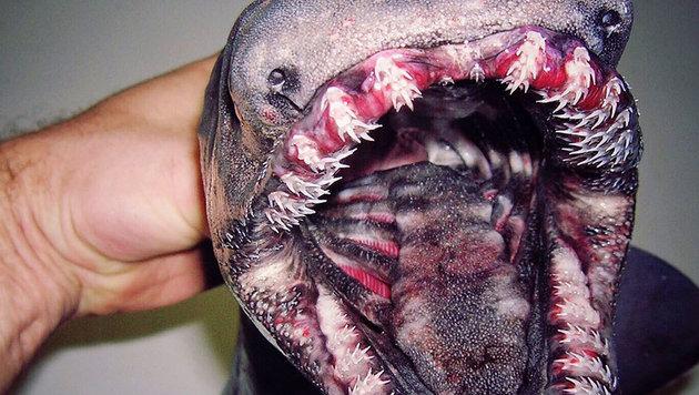 Ein Kragenhai (Bild: twitter.com/Roman Fedortsov)