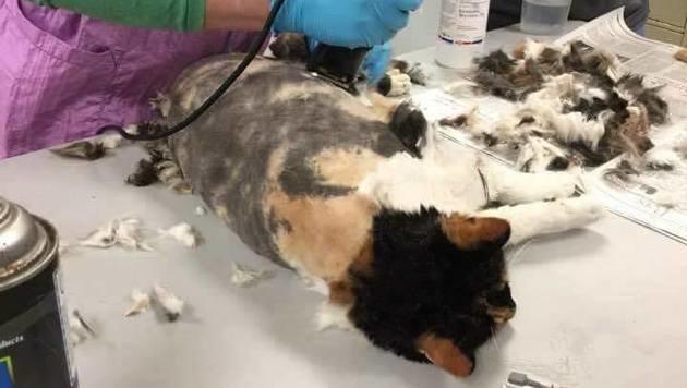 Die Katze konnte in stundenlanger Arbeit von ihrem Fell befreit werden. (Bild: Animal Rescue League Shelter & Wildlife Service)