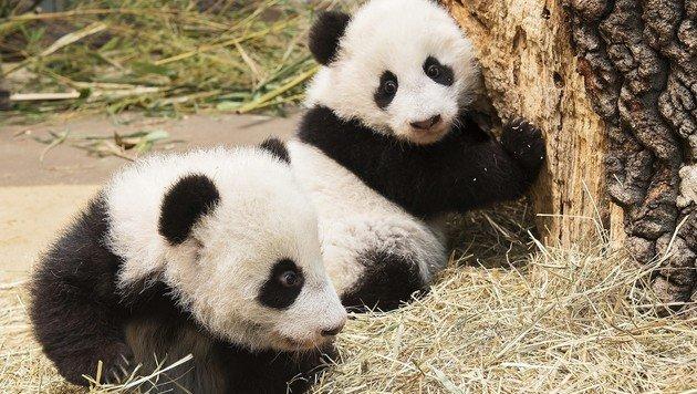 Panda-Zwillinge zeigen sich erstmals den Besuchern (Bild: Daniel Zupanc)