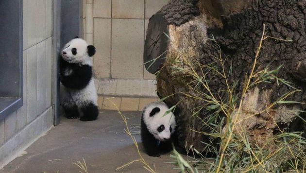 Panda-Zwillinge zeigen sich erstmals den Besuchern (Bild: Barbara Feldmann)