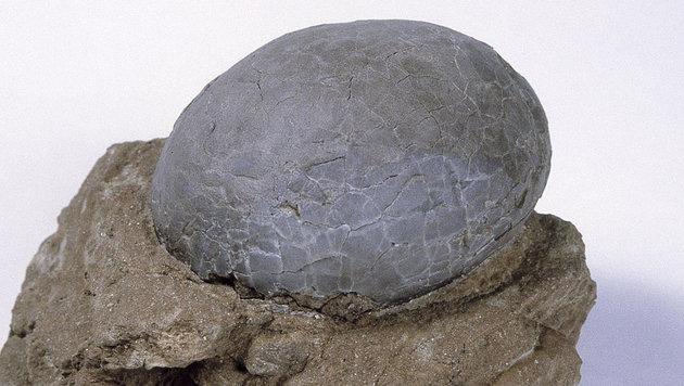 Ein in China gefundenes versteinertes Dinosaurier-Ei (Bild: AFP/picturedesk.com)